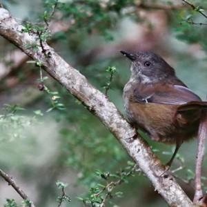 Tasmanian Birds wildlife