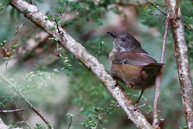 Forest Walks Lodge - best place to see and photograph endemic birds in the Great Western Tiers in northern Tasmania